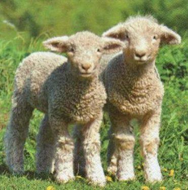 Dekorszalvéta - Cute Little Lambs